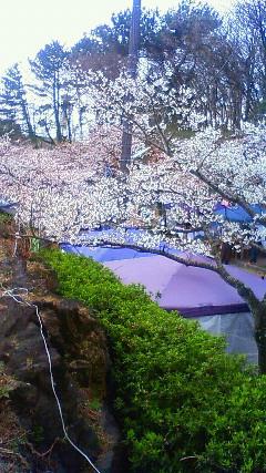 伊豆高原さくら祭り